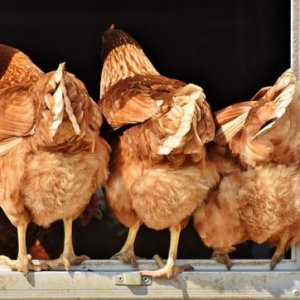 curso-online-control-sanitario-y-normas-de-bioseguridad-en-aves-y-granjas